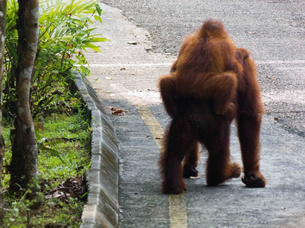 visiting orangutans in borneo