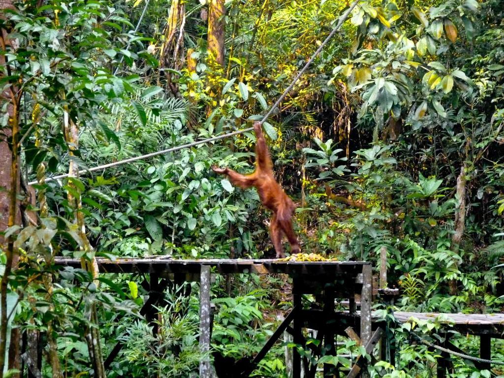 visiting orangutans in borneo