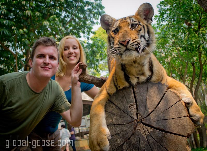 Tiger at tiger kingdom