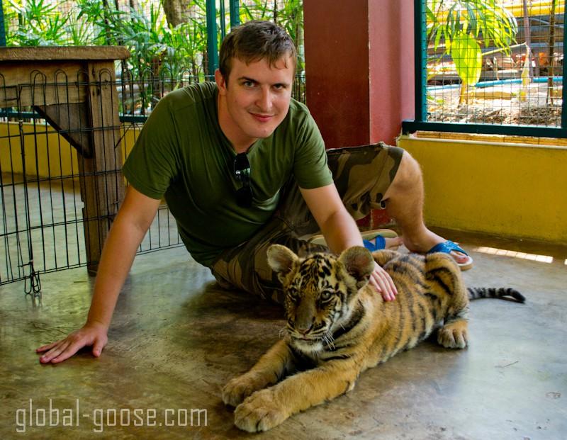 baby tiger at tiger kingdom, chiang mai