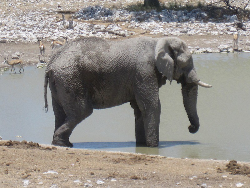 Elephant at Etosha Watering Hole