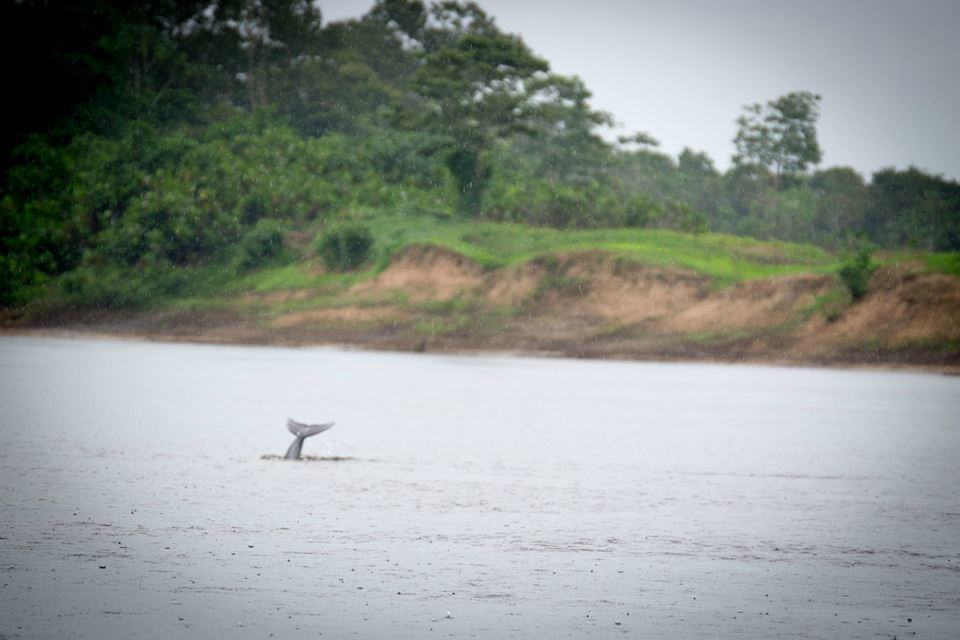 dolphin-tail-amazon-river