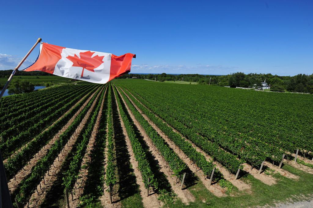 A Niagara vineyard