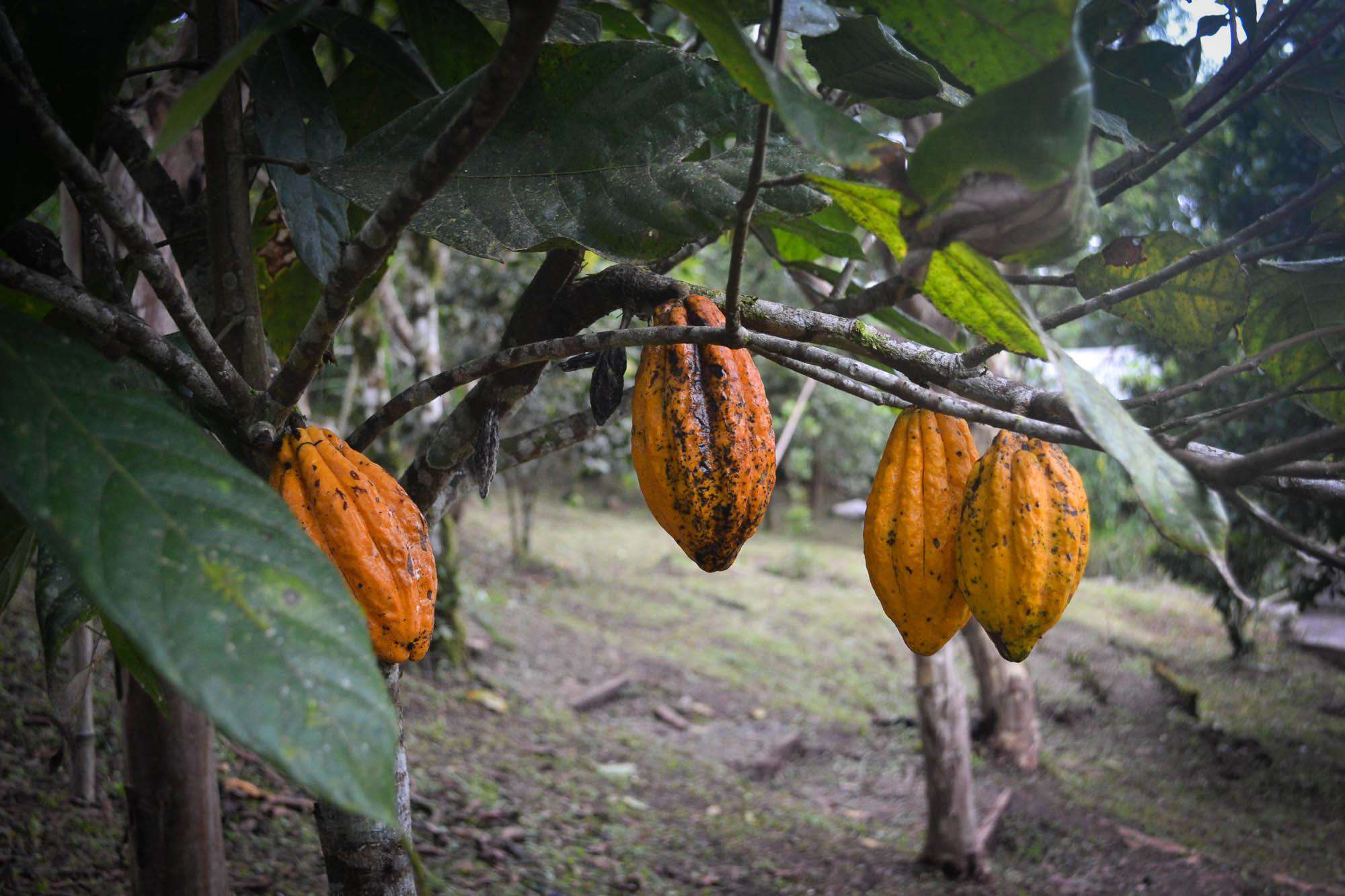 Cacao pods growing for your future chocolate bar.