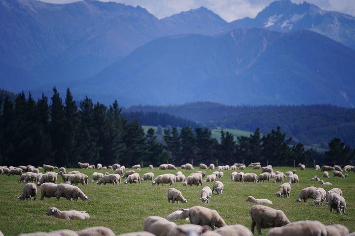 sheep-1766722__480