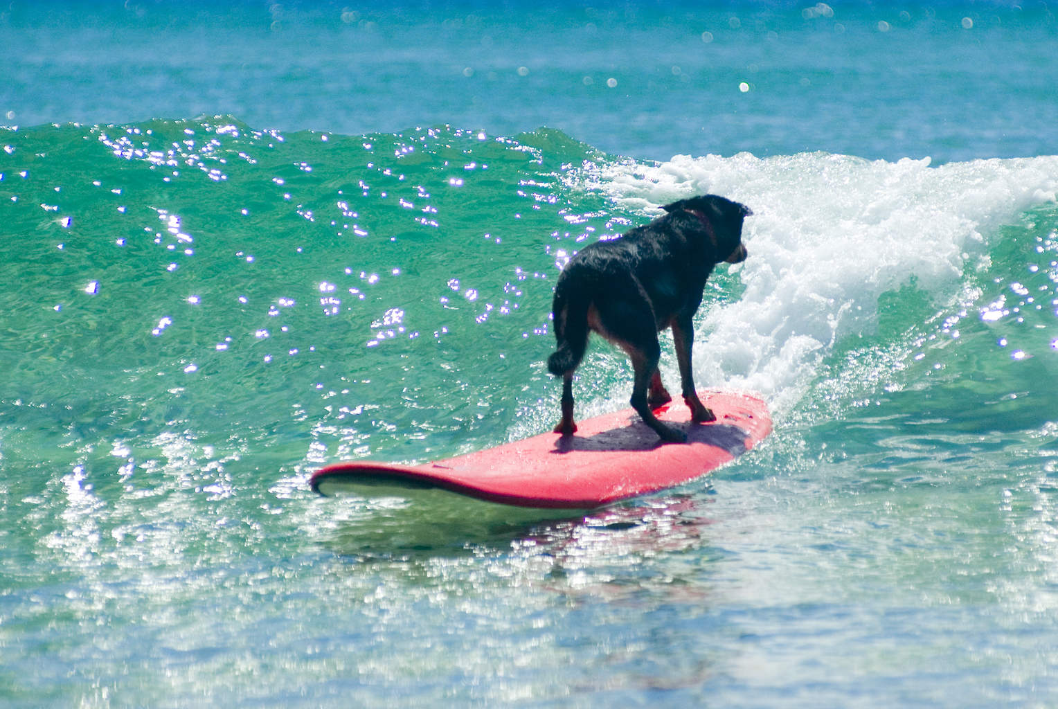 They even managed to teach a dog to surf!