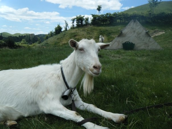 goat in new zealand