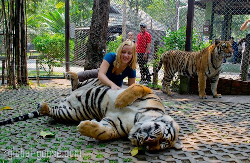 tiger kindom tiger belly rub