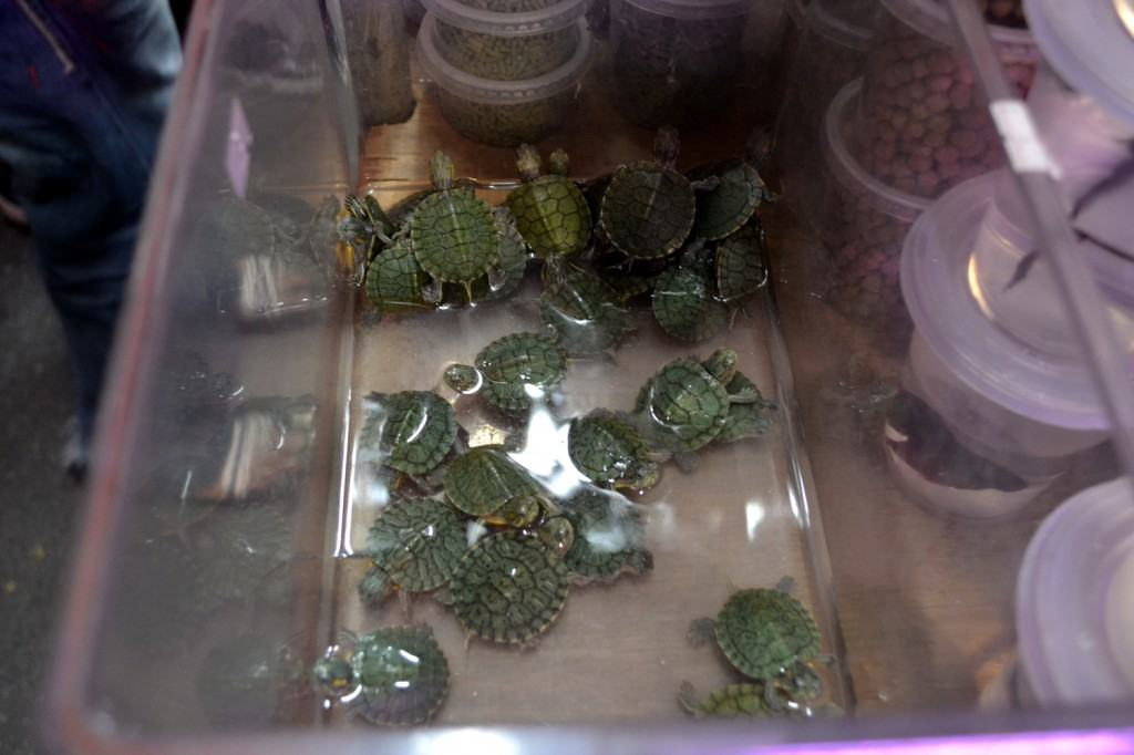 Baby turtles for sale at a night market in Kuching, Malaysian Borneo.