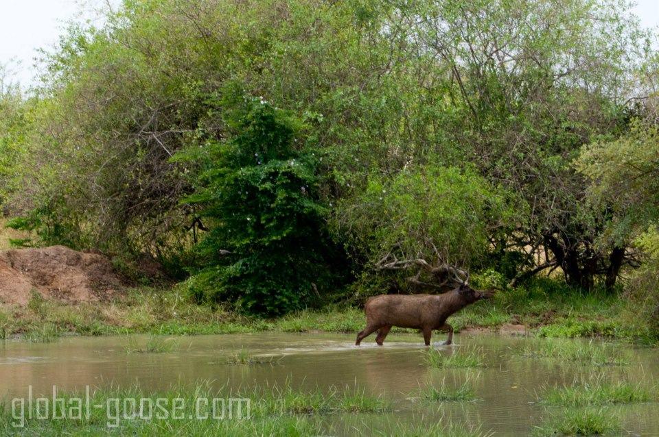 Wildlife Safari, Yala National Park, Sri Lanka